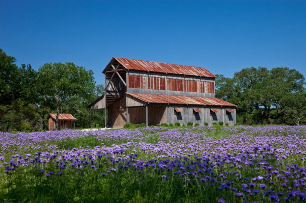 During February through March, Bluebonnets surround the Eagle Dance Ranch big barn.